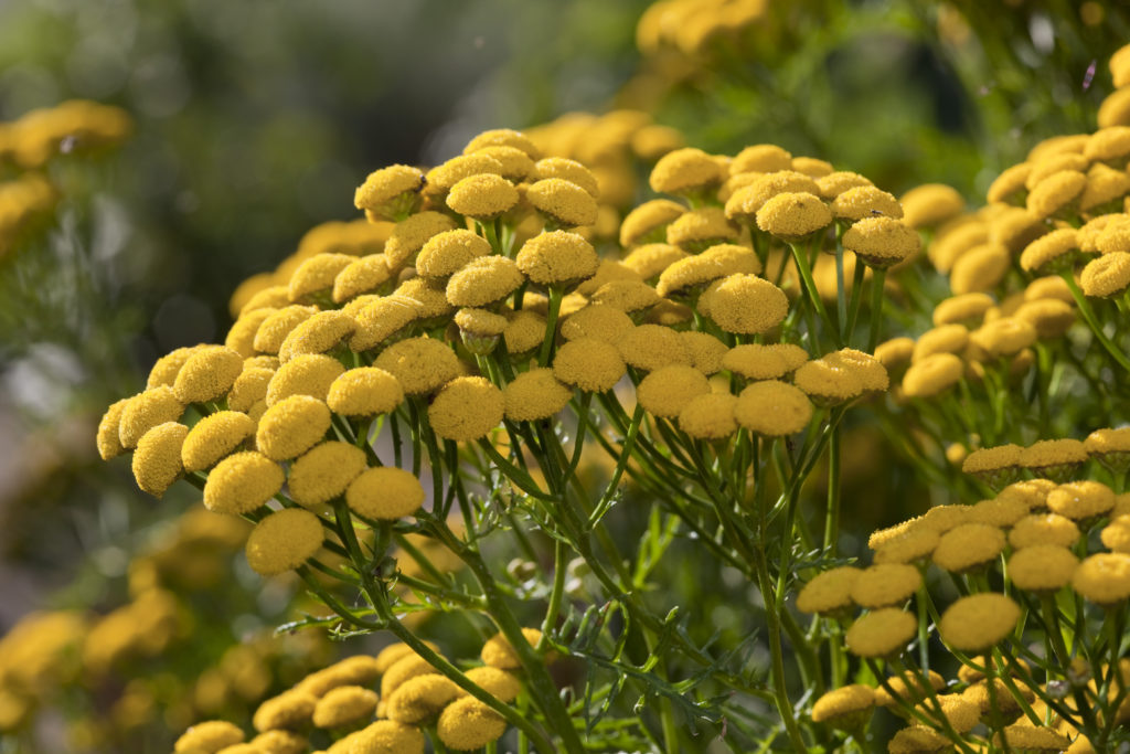 Close up of yellow tansy flowers